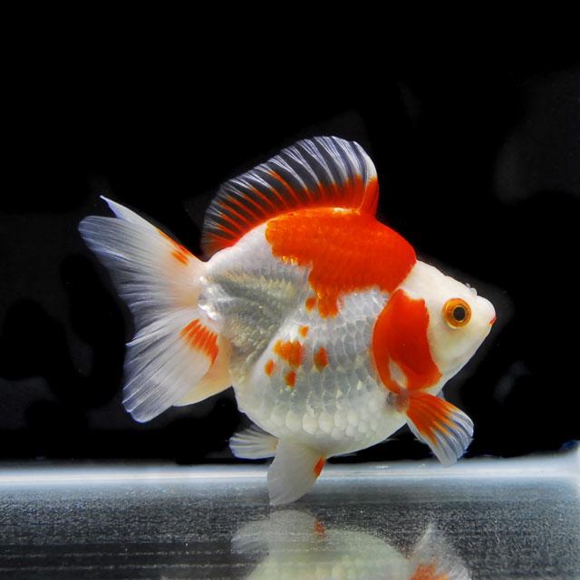 【金魚王子】更紗ショートテール琉金 2才 (14cm前後) 個体番号:xcv604 (金魚 生体 水槽に彩りが加わります!厳選個体)