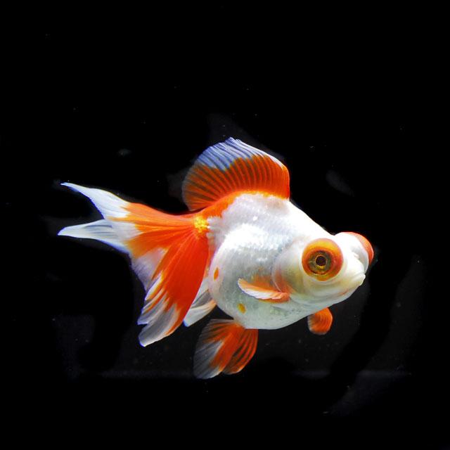 【金魚王子】更紗蝶尾 2才 (15cm前後) 個体番号:asd401 (金魚 生体 水槽に彩りが加わります!厳選個体)