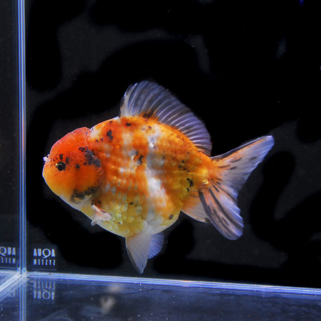 【金魚王子】三色セルフィンらんちゅう 2才 (14.5cm前後) 個体番号:asd408 (金魚 生体 水槽に彩りが加わります!厳選個体)