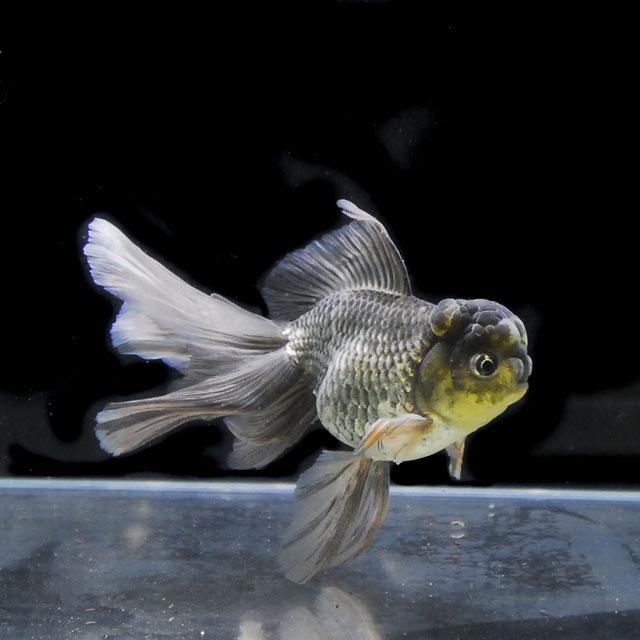 【金魚王子】青オランダ (2才/16.5センチ前後) 個体番号:xcv783 金魚 オランダ 金魚 きんぎょ 生体 生体 オランダ 厳選個体, アートオブポスター:c5a782f9 --- acessoverde.com