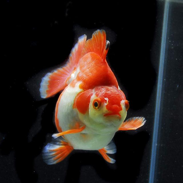 【金魚王子】更紗ショートテール琉金 (2才/13.5センチ前後) 個体番号:xcv808 金魚 きんぎょ 生体 琉金 厳選個体