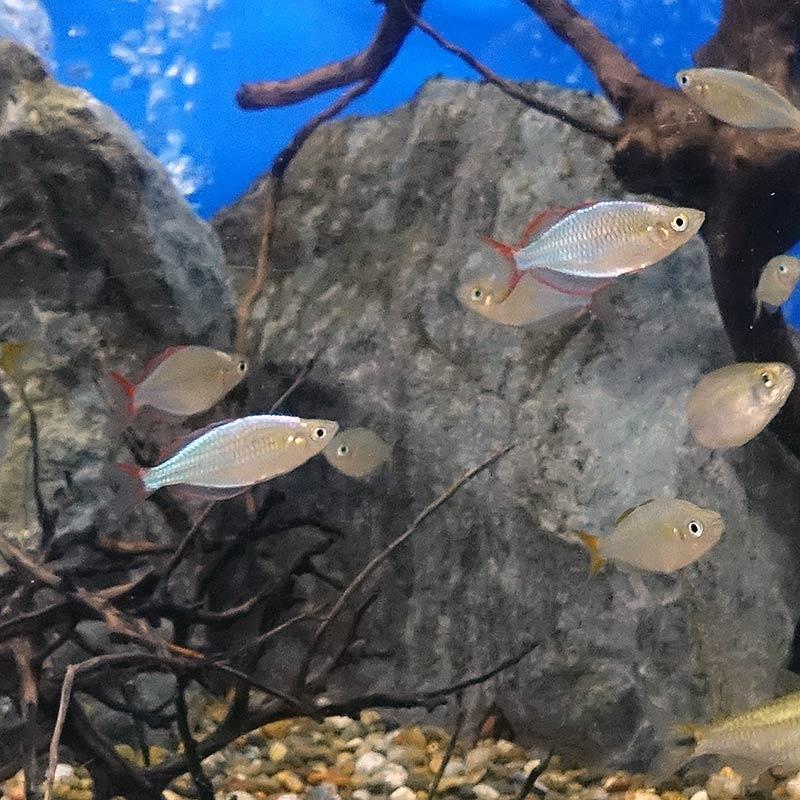 熱帯魚 全店販売中 祝日 ネオンドワーフレインボー 1匹 生体