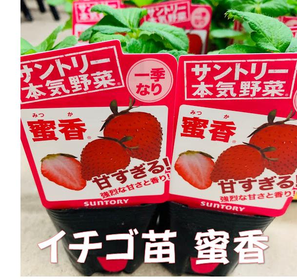 濃厚な甘さのイチゴ 9月末頃~発送予定イチゴ苗 蜜香 9センチポット 1苗 みつか サントリーフラワーズ本気野菜イチゴ苗 10~11月植え いちご 期間限定で特別価格 安心の実績 高価 買取 強化中 5~6月収穫