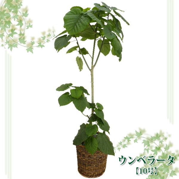 ウンベラータ 10号【TD】(代金引換不可)観葉植物 【GW】 P19Jul15