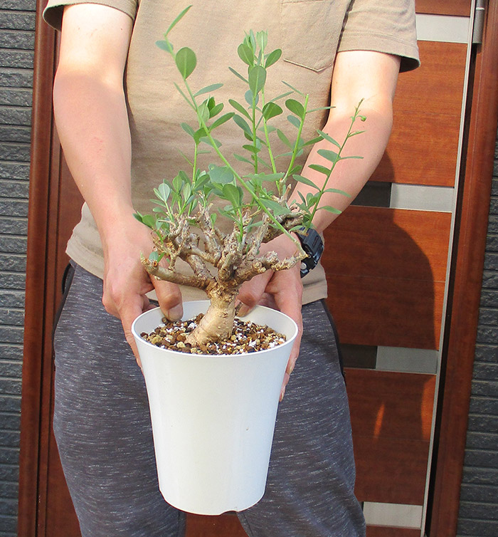 NEW!★【現品・現物】発根済 塊根植物 クラッスラSP クラッスラエスピー 5号 A14番