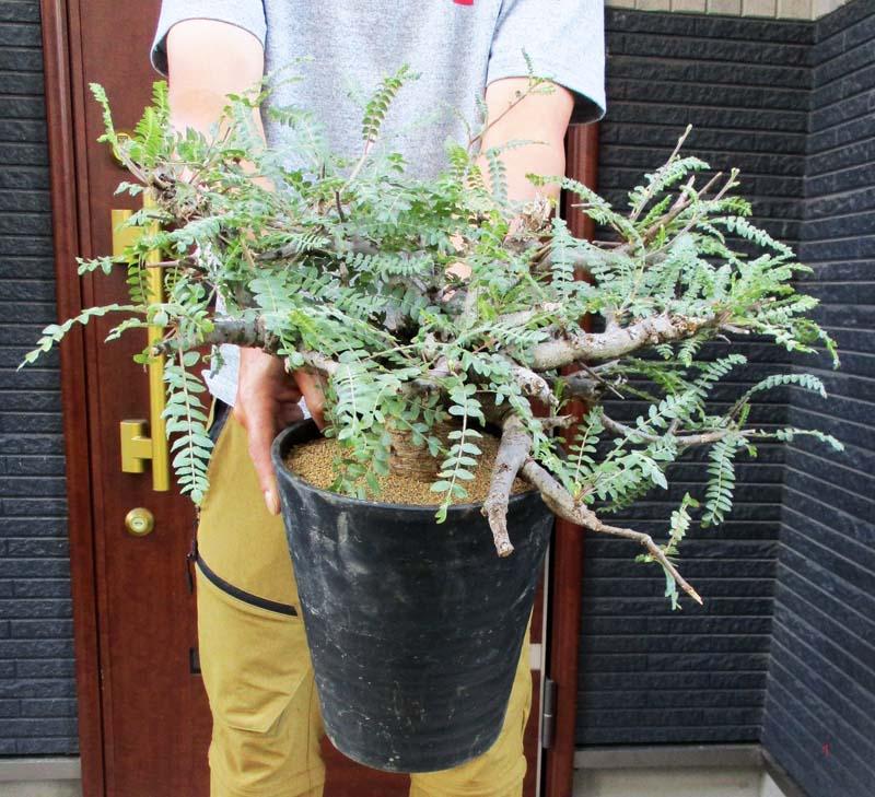 コーデックス 塊根植物 Boswellia neglecta 現品 現物 3A 販売 大株 ボスウェリア スーパーセール 予約販売 7号 ネグレクタ