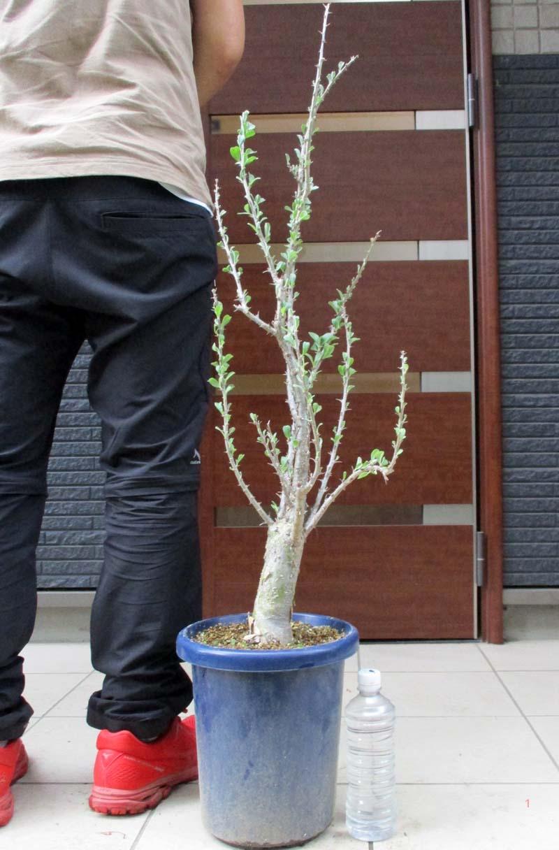 塊根植物 コーデックス NEW 現品 現物 セサモタムナス Sesamothamnus 天狗のゴマすり ルガルディー マーケティング 8号大株 誕生日プレゼント d3番 lugardii