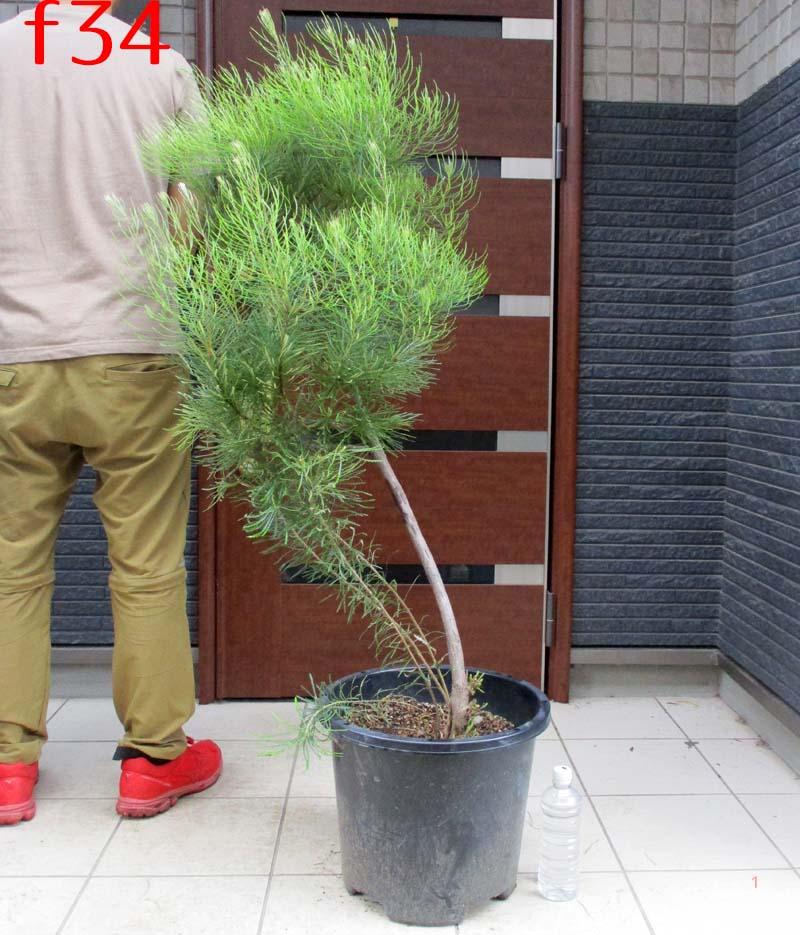 今だけ限定15%OFFクーポン発行中 庭木 シンボルツリー 植木 鉢 観葉植物 大型 オジー植物 オーストラリア風庭園 大型にて日時指定できません 在庫一掃 現品 現物 ヘアピン f34番 バンクシア スピヌノーサ banksia spinulosa hairpin ヘアピンバンクシア 13号 大株 バンクシャー