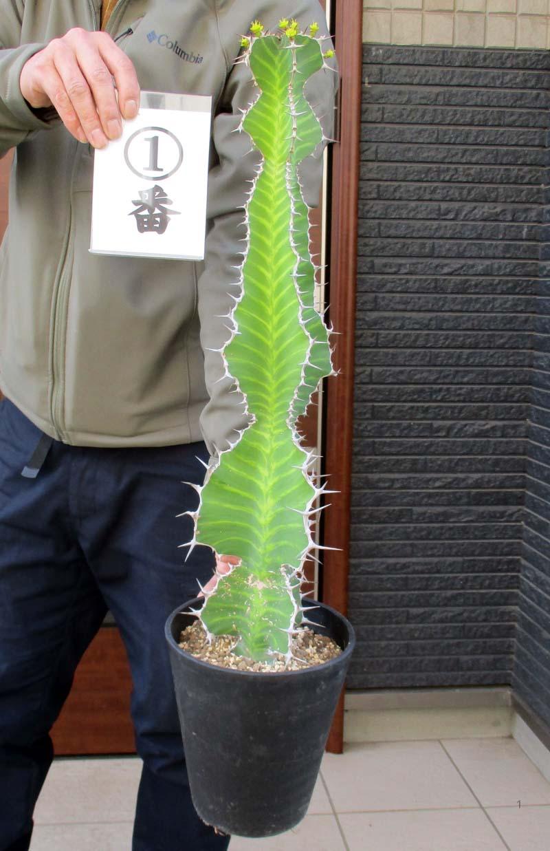 珍奇植物 奇形植物 現品 現物 ユーフォルビア グランディアラータ キリンカン 麒麟冠 贈答品 きりんかん 多肉 多肉植物 観葉植物 6号 奉呈 販売 1番2番
