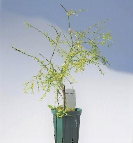 品種・実色不明  フィンガーライム キャビアライム  ブッシュキャビア 15cm鉢