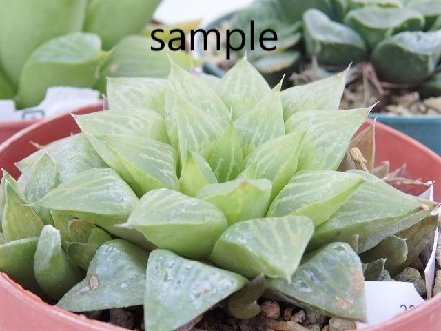 大特価です 処分品 送料込 人気 多肉植物 ハオルチア 7.5cm鉢 3株アソート ハオルシア