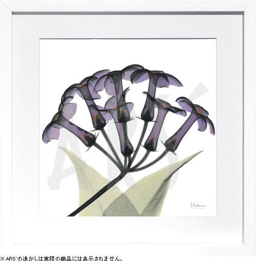 アートパネル アートポスター 絵画 インテリア ポスター タペストリー 壁掛け アートフレーム ウォールアート アートボード モノトーン モノクロ デザイナーズ アンティーク シンプル モダン 北欧 おしゃれレントゲンアート アルバート クーツィール Purple Stephanotis
