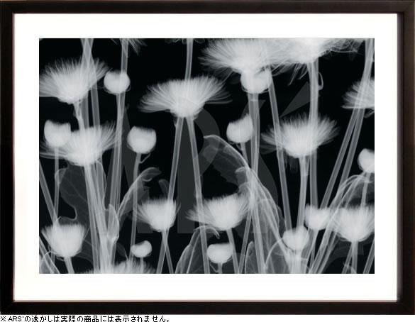 【絵画 アートパネル専門店】【アートフレーム専業】絵画 アート/レントゲンアート ヒュー・ターベイChrysanthemum Furore(アートポスター/アートパネル/モダンアート)【0824カード分割】