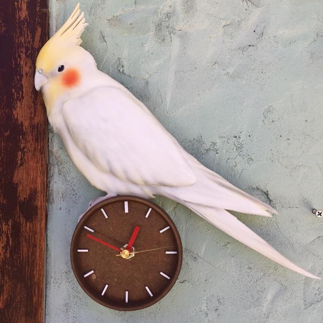 インコちゃん時計 3D リアル 立体 オーダー ペット 時計 似顔絵 愛犬 犬グッズ 壁掛時計 かわいい時計 似顔絵時計 立体時計 手作り時計 送料無料 プレゼント サプライズ オーダーメイド時計