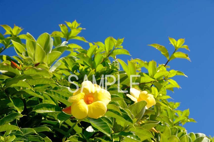 ポスター インテリア 壁飾りに美しい風景写真を ディスプレイ 模様替えに最適 ギフトや記念日のプレゼントなどにも 2LW-246 人気ブレゼント オオバナアリアケカズラの花 2LW写真 訳あり 南大東島 沖縄