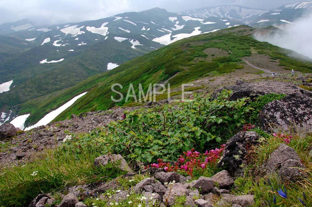 風景写真ポスター  北海道層雲峡/大雪山 可憐な高山植物たち osp-290