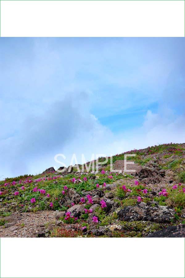 風景写真ポスター 北海道層雲峡/大雪山 可憐な高山植物たち osp-294