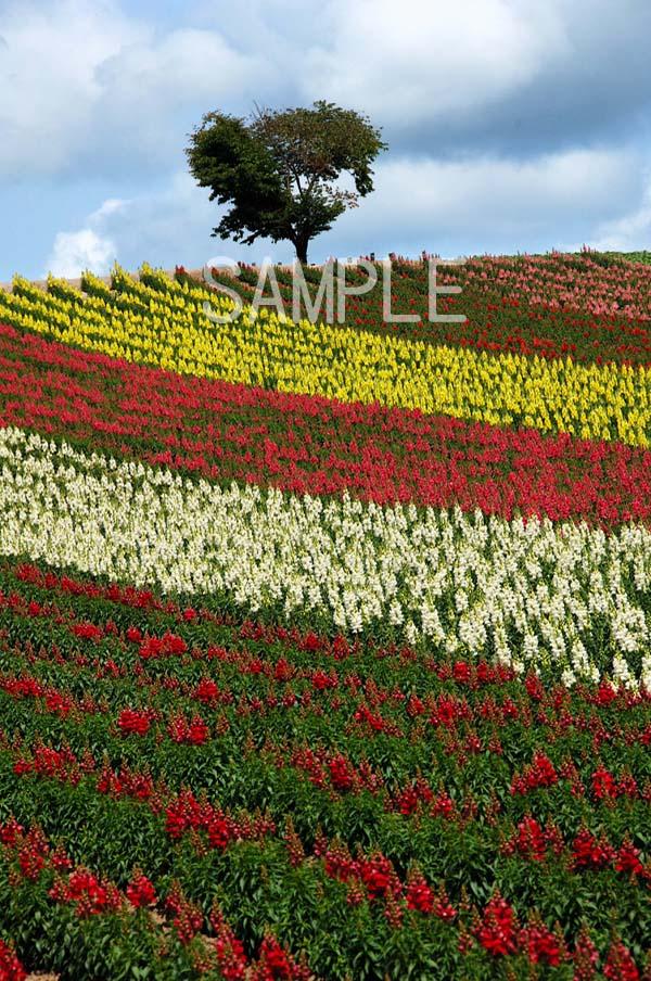 風景写真ポスター  北海道美瑛 四季彩の丘 花畑 osp-316
