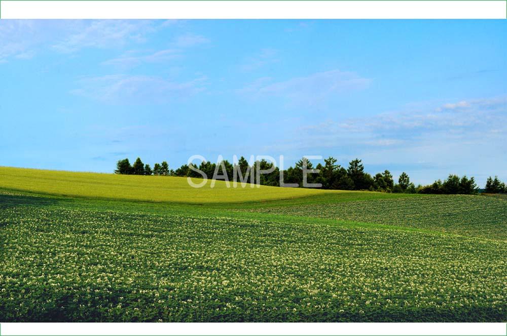 ポスター インテリア 壁飾りに美しい風景写真を ディスプレイ 模様替えに最適 売り出し ギフトや記念日のプレゼントなどにも 2LW写真 麦とジャガイモ畑 2LW-382 北海道 美瑛 オンライン限定商品