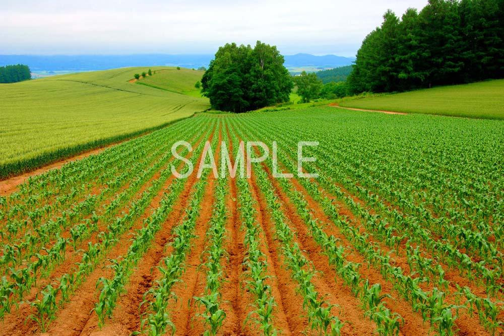 風景写真ポスター  北海道美瑛 美しき丘のまち osp-91