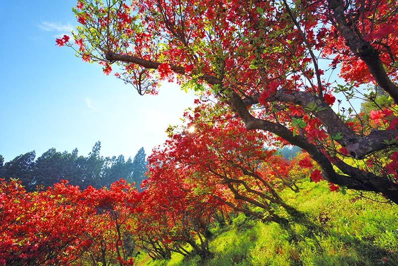 風呂山公園/つつじ4 福島 風景写真パネル72.7×50cm fry-004-m20アート ポスター 風景,絵画 アート,絵画 壁掛け アート,タペストリー 壁掛け,インテリア アートパネルの壁飾り,お祝いギフトに