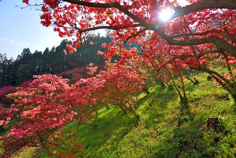 風呂山公園/つつじ2 福島 風景写真パネル72.7×50cm fry-002-m20アート ポスター 風景,絵画 アート,絵画 壁掛け アート,タペストリー 壁掛け,インテリア アートパネルの壁飾り,お祝いギフトに