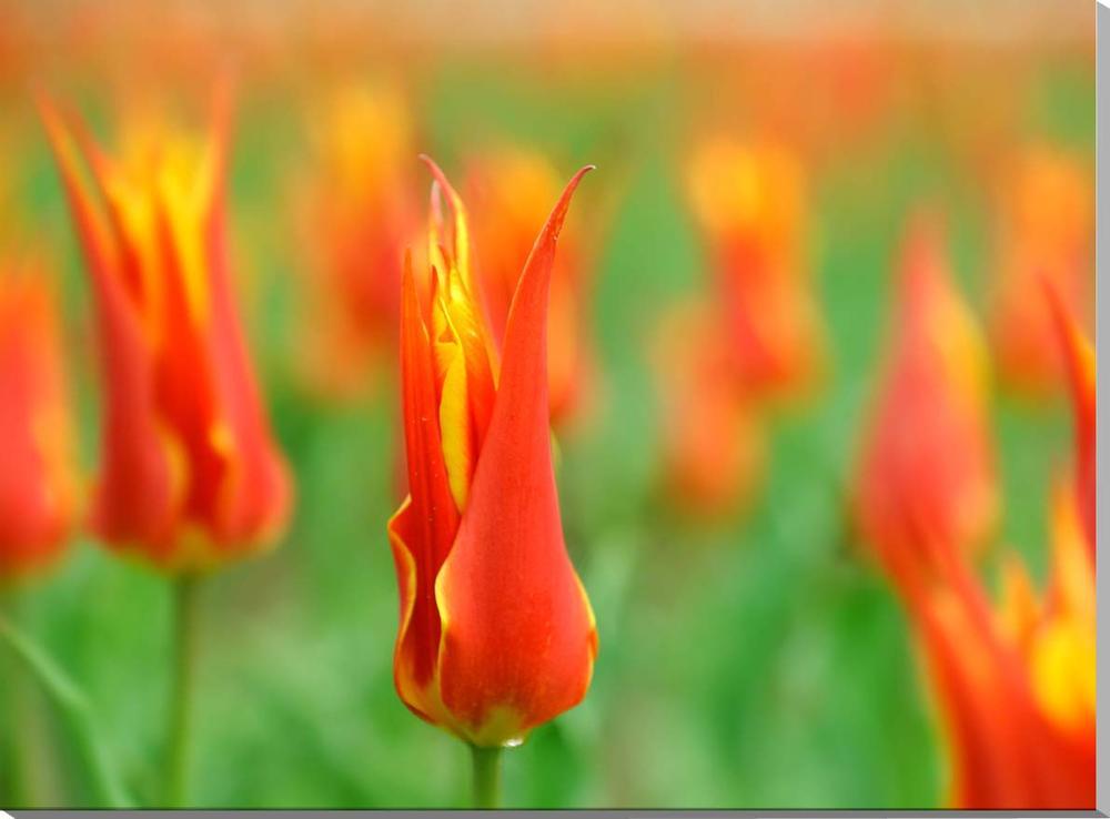 花 チューリップ オリジナル 風景写真パネル キャンバス地 壁掛け 33.3×24.2cm HN-116-F4壁飾り 素敵なインテリア フォトアート トイレ リビング 玄関 プレゼント ギフトに