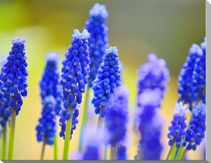 風景写真パネル 福島 花 ムスカリ 60.6×41cm HN-171-M12インテリア ポスターとは違う,リビング,玄関にそのまま飾れる額がいらない,壁掛け,壁飾り。絵画 アート,,アートパネル,癒やしの装飾をお祝い,プレゼント,ギフトにも。