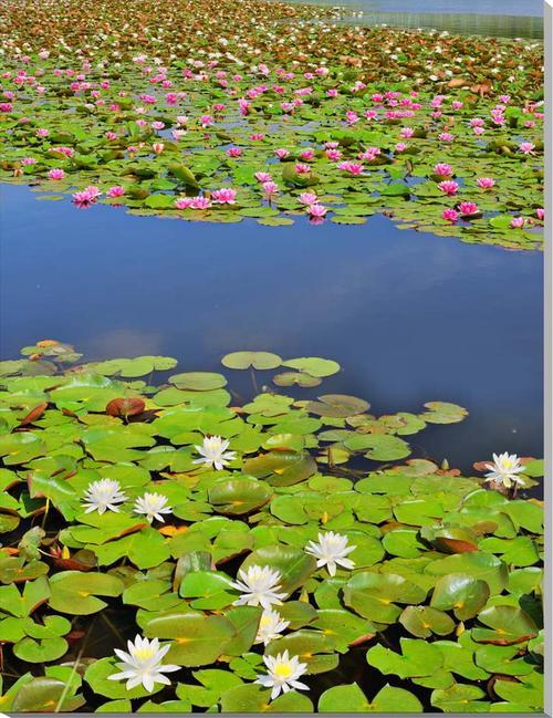 風景写真パネル 花 スイレン 116.7×80.3cm HN-175-P50インテリア ポスターとは違う,リビング,玄関にそのまま飾れる額がいらない,壁掛け,壁飾り。絵画 アート,,アートパネル,癒やしの装飾をお祝い,プレゼント,ギフトにも。