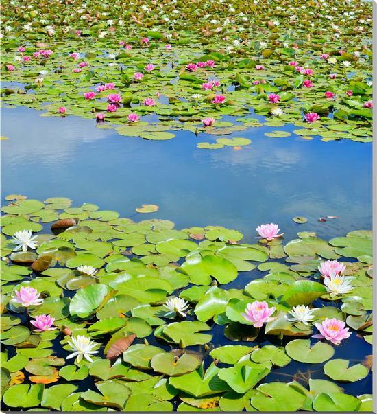 風景写真パネル 茨城 乙戸沼 花 スイレン 80×90cm HN-176-8090インテリア ポスターとは違う,リビング,玄関にそのまま飾れる額がいらない,壁掛け,壁飾り。絵画 アート,,アートパネル,癒やしの装飾をお祝い,プレゼント,ギフトにも。