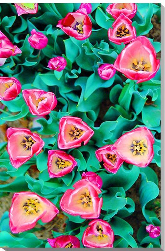 花 チューリップ 風景写真パネル 72.7×50cmM20  【楽ギフ_名入れ】