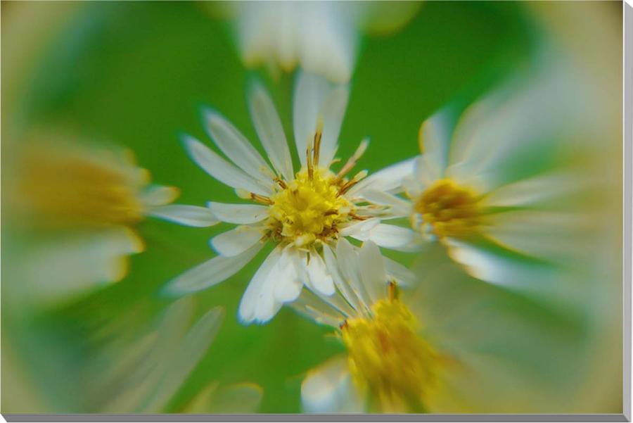 花 サワシロギク 風景写真パネル 53×33.3cmM10  【楽ギフ_名入れ】