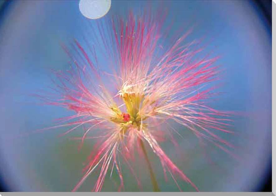 花 ねむの木1 風景写真パネル