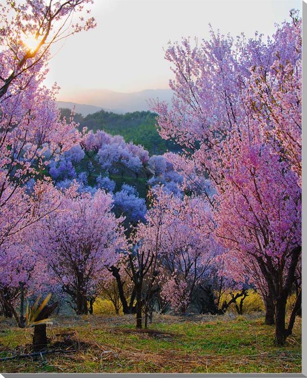 福島平田/花木畑の夕日 桜 風景写真パネル 91×72.7cm FUK-74-F30  【楽ギフ_名入れ】
