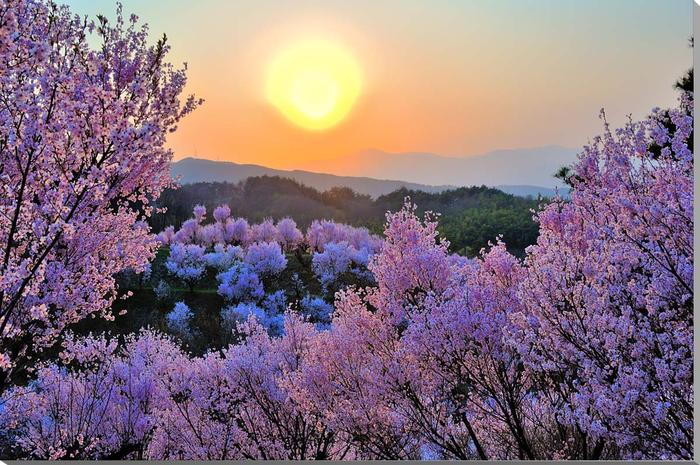 福島平田/花木畑の夕日 桜 風景写真パネル 72.8×51.5cm FUK-75-B2 壁掛け 壁飾り 玄関 卓上 癒やしのさくらの四季の花のインテリアアートをおすすめ ギフト 贈り物 アートフォト フラワー プレゼントにお薦め