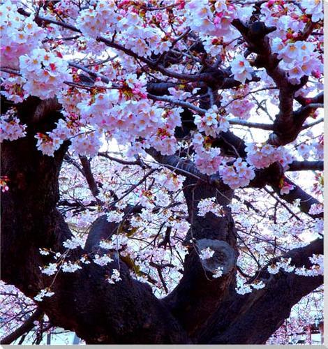 お祝いギフトに 額要らずの壁飾り インテリア 直営ストア 壁掛け 超歓迎された アート パネル ポスター 風景 PO-15-S4 写真パネル 絵画 真鍋小学校 桜