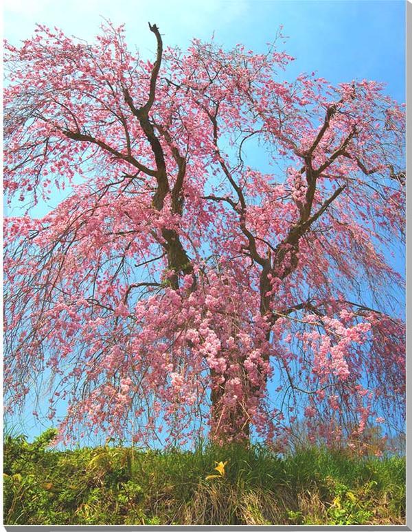 しだれ桜 青木沼 風景写真パネル 65.2×50cmP15  【楽ギフ_名入れ】