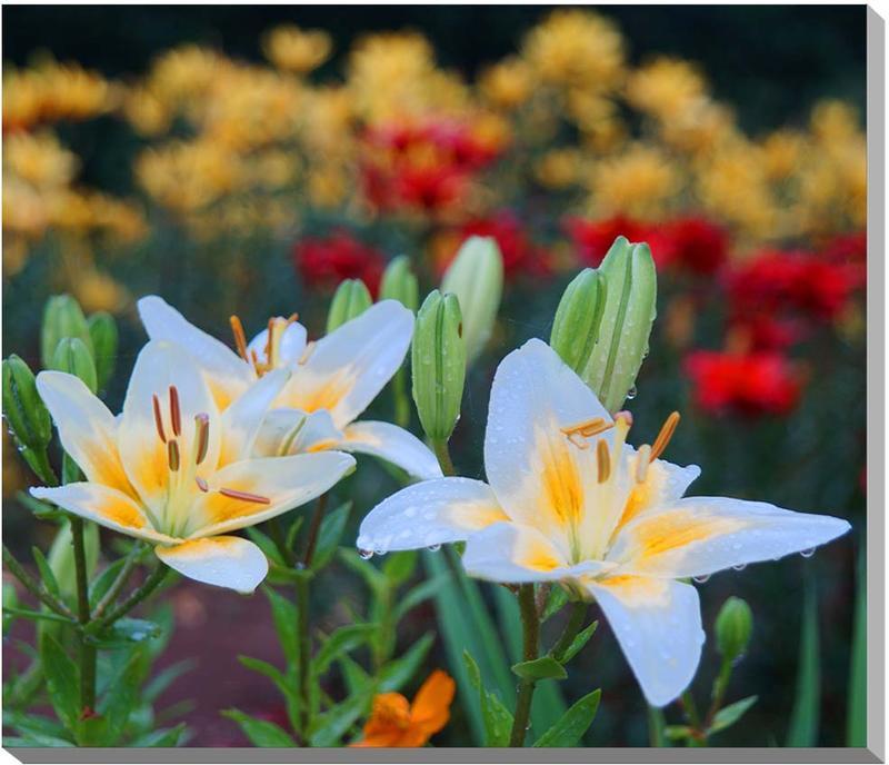 ゆり 花 風景写真パネル 65.2×53cm HN-011-F15