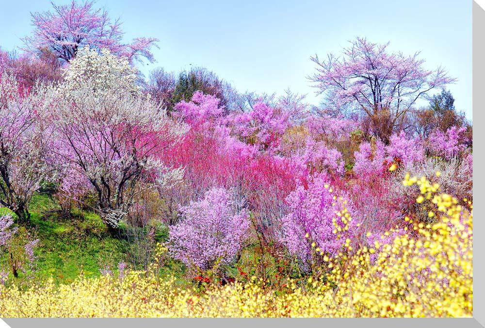 花見山5 福島市 風景写真パネルクロス地 壁飾りやインテリアに美しい桜の写真パネルを。インテリア ディスプレイ 模様替え タペストリー 風景ポスターに最適。新築祝い 引っ越し祝いプレゼントなどにも。