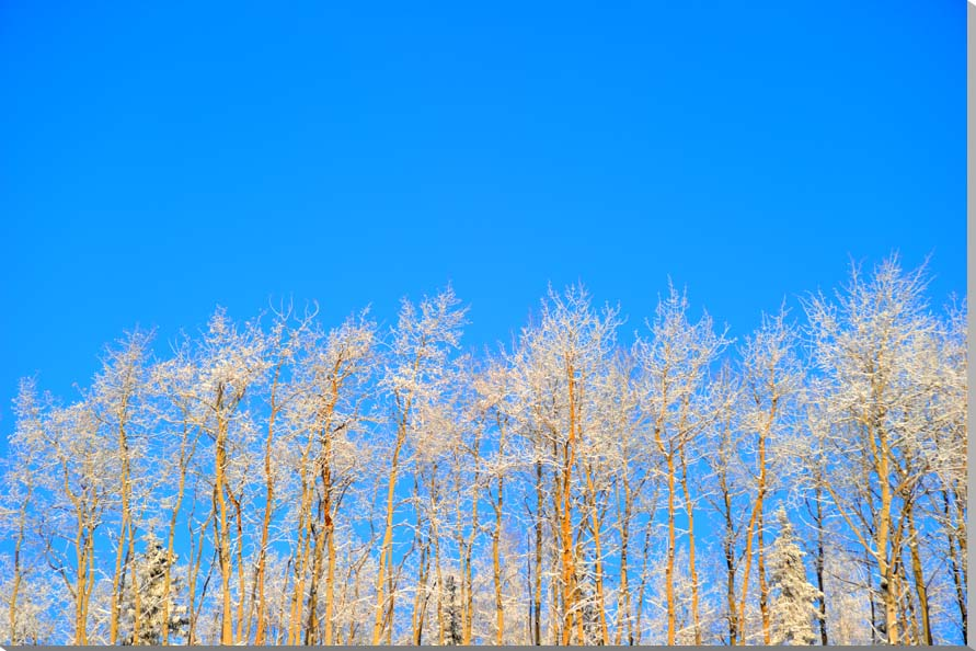 霧氷の木々 アラスカ 風景写真パネル 53×33.3cm AUR-34-M10