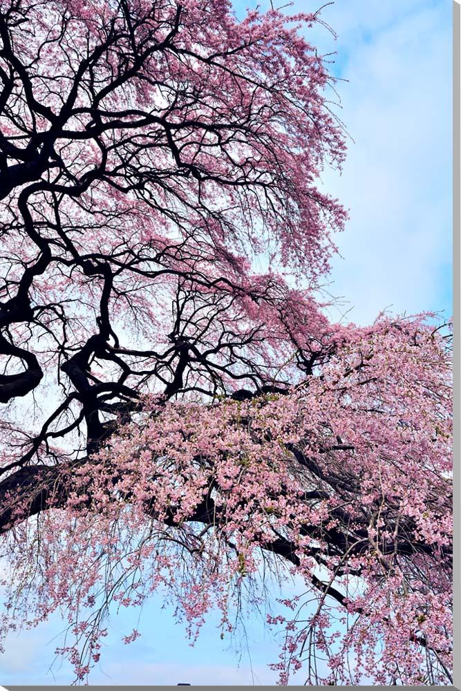 平田 桜 さくら 福島 オリジナル 風景写真パネル 72.7×50cm FUK-163-M20 壁掛け 壁飾り 癒やし 装飾 花のインテリアアート フォトアート ポスター リビング 玄関 お祝い プレゼント ギフトに