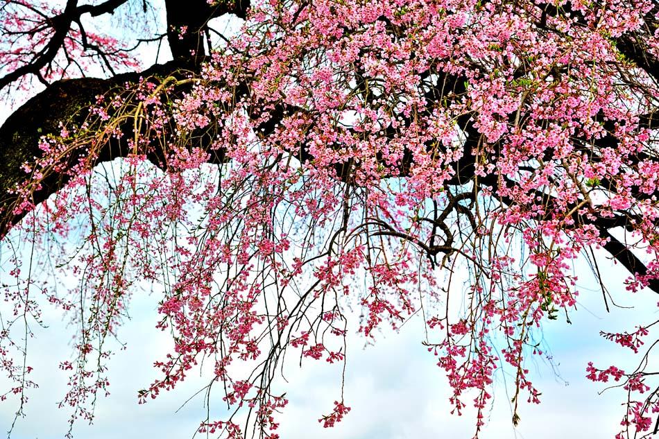 ボタニカル グラフィック アート インテリア 壁掛け 壁飾り メーカー公式 模様替え 雰囲気作り 癒やし 風景写真ポスター 福島市 プレゼント 新築 結婚 賞品 お祝い 平田の桜01 安心の定価販売 pshana-5 記念品 誕生日 ギフト