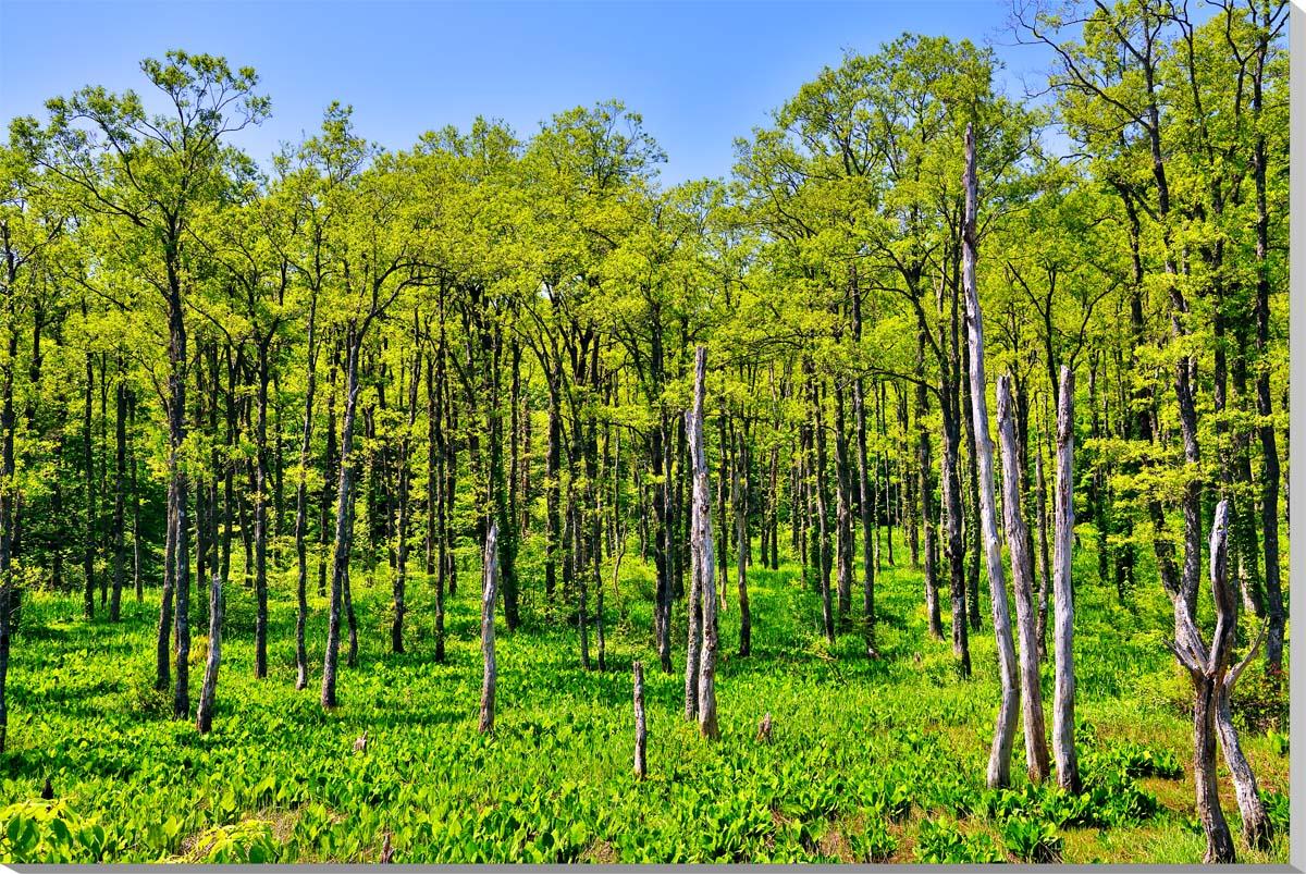 風景写真パネル 福島裏磐梯 細野峠 新緑の林 100×65.2cm fuk-258-m40 ポスター 風景,リビング,玄関にそのまま飾れる額がいらない,壁掛け,壁飾り。絵画 アート,アートパネル,癒やしの装飾をお祝い,プレゼント,ギフトにも。