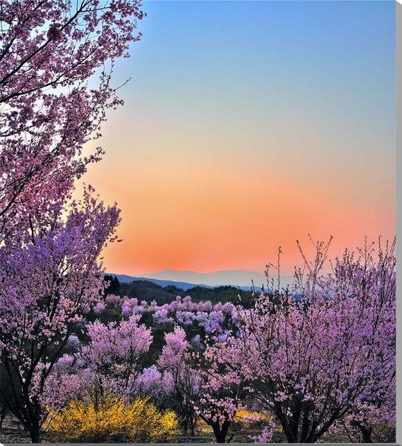 風景写真パネル 花木畑の桜と夕焼け 福島平田 75×65cm fuk-298-7565 インテリア ポスターとは違う,リビング,玄関にそのまま飾れる額がいらない,壁掛け,壁飾り。絵画 アート,アートパネル,癒やしの装飾をお祝い,プレゼント,ギフトにも。