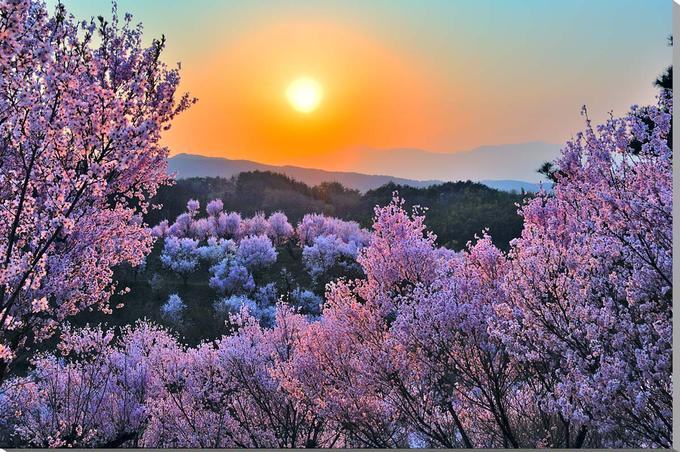 風景写真パネル 花木畑の桜と夕日 福島平田 91×65.2cm fuk-300-p30 インテリア ポスターとは違う,リビング,玄関にそのまま飾れる額がいらない,壁掛け,壁飾り。絵画 アート,アートパネル,癒やしの装飾をお祝い,プレゼント,ギフトにも。