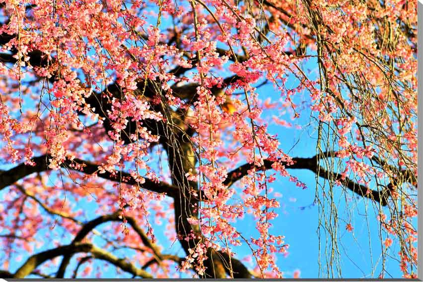 風景写真パネル 花木畑 しだれ桜 福島平田 72.8×51.5cm fuk-303-b2 ポスター 風景,ポスター インテリア,絵画,アートパネル,風景,アートポスター,絵画 壁掛け,壁掛け アート,絵画 アート,壁飾り,お祝い,プレゼント,ギフトに