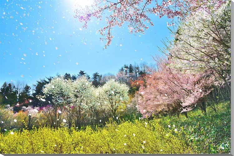 写真パネル 桜吹雪 神の内前 福島 72.8×51.5cm fuk-338-b2 壁掛けアート おしゃれ 美しい風景写真パネル 花の写真パネル フォトパネル,風景,アートパネル,絵画 壁掛け,壁掛け アート,絵画 アート,壁飾り,お祝い,プレゼント,ギフトに