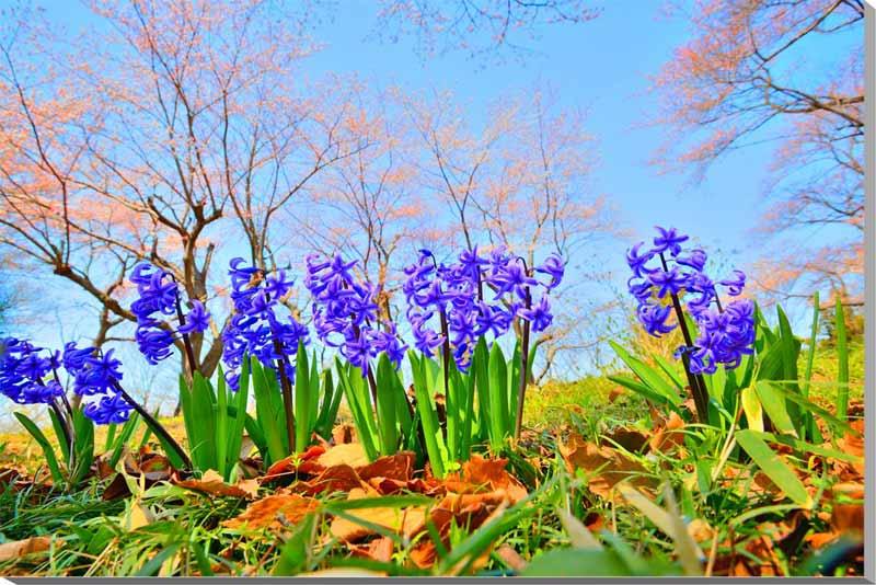写真パネル 桜とヒヤシンス 福島 53×33.3cm fuk-341-m10 ポスター 風景,ポスター インテリア,絵画,アートパネル,風景,アートポスター,絵画 壁掛け,壁掛け アート,絵画 アート,壁飾り,お祝い,プレゼント,ギフトに