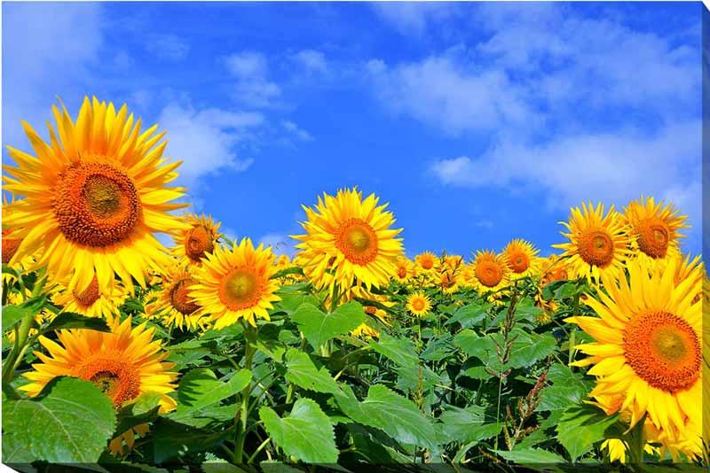 風景写真パネルキャンバス地 青い空とひまわり 福島 72.8×51.5cm sok-406-b2 側面までプリント 絵画 アート,絵画 壁掛け,ポスター 風景,ポスター インテリア,壁掛け アート アートパネル,アートポスター,壁飾り,お祝いギフトに