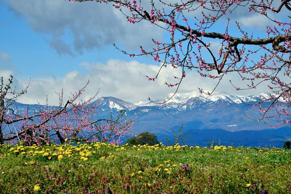 風景写真パネル 福島 吾妻山の雪うさぎと桃とタンポポ 80.3×53cm FUK-235-m25絵画 アートなディスプレイや模様替え タペストリーなどに。新築祝い 出産祝い 結婚祝い プレゼントに喜ばれます。